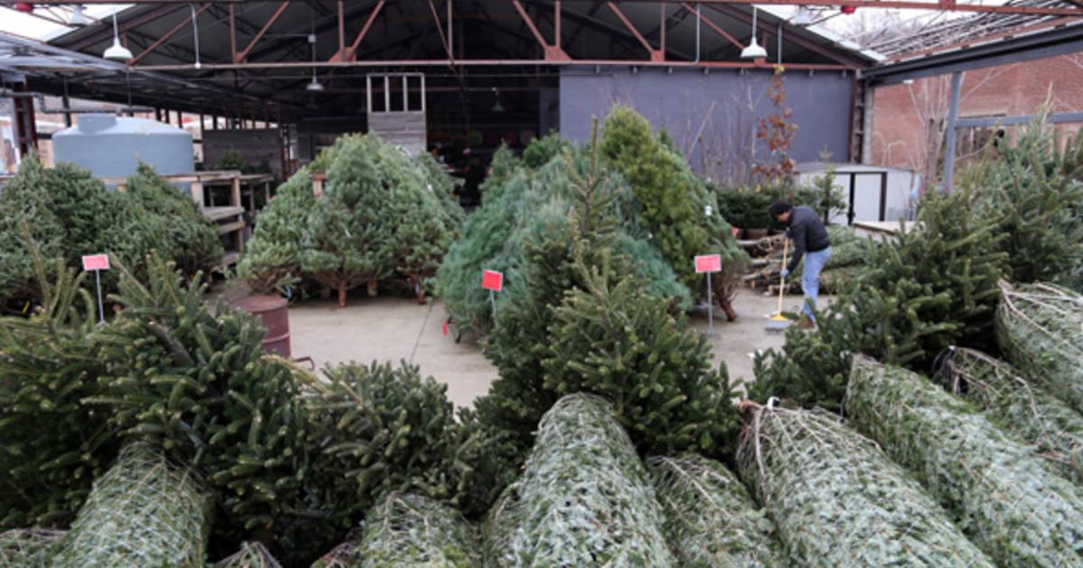 - Toronto Christmas Trees Buying Guide