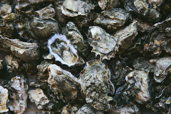 The frame of this photo is filled with oysters in their shell