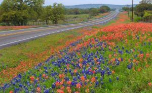 Blue and red bluebonnets in San Antonio, TX