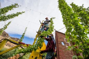 Workers remove hops vines during a harvest at the Britt's organic hop farm in Cowiche Canyon, Wash. (Shawn Gust/Yakima Herald-Republic) via Yakima Herald