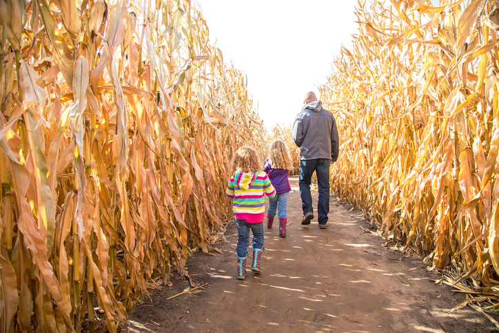 Family walking through corn maze.