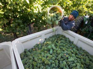 Jaime Pacheco collects sauvignon blanc grapes at Airfield Estates Vineyard in Sunnyside Wash. (Sofia Jaramillo/Yakima Herald-Republic) via Yakima Herald
