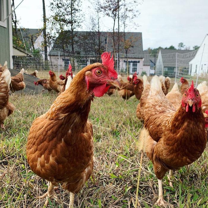 Chickens at Pinwheel Farm.