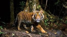 20150921163352-tiger-tiger-2.jpg