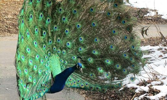20160229161143-peacock.jpg