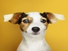 Adorable-jack-russell-retriever-puppy-portrait_53876-64825