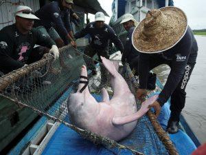 El delfín rosado es la nueva especie en peligro dentro del Amazonas