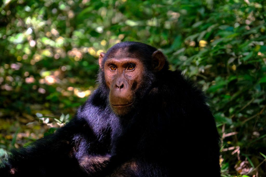 chimpanse y seres humanos tienen la misma cantidad de pelo