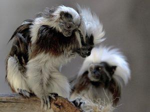 Nace en México simio Tamarin cabeza de algodón, una de las especies más pequeñas del mundo – y tenemos fotos