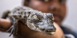 Los cocodrilos del Nilo, animales de compañía de los nubios de Asuán
