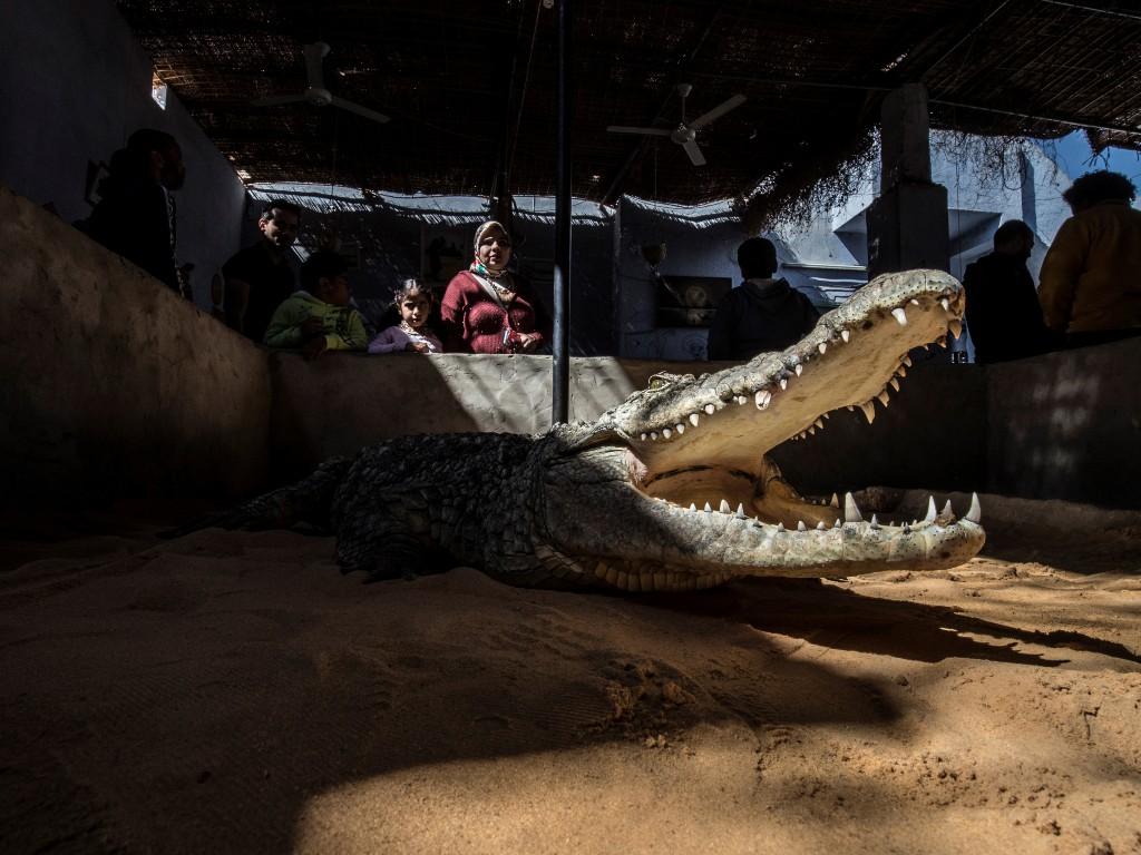cocodrilos Nilo