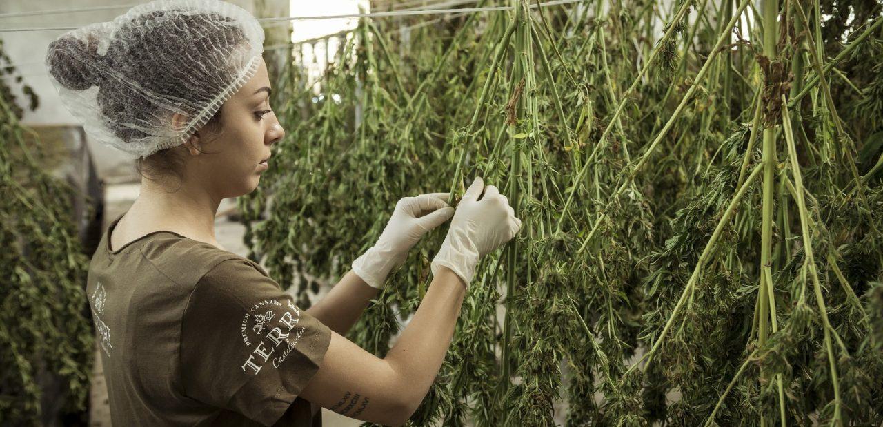 Marihuana Cannabis