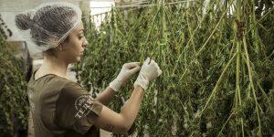 Aprobar el uso industrial de la marihuana ayudará a  reactivar la economía de México, dice Grupo Promotor de la Cannabis
