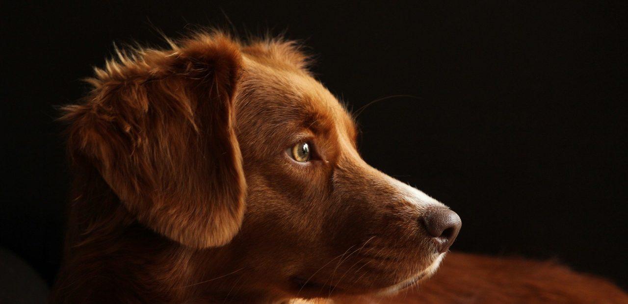 perros detectar coronavirus