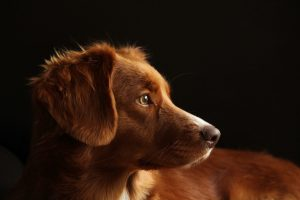 Los perros podrían ser la siguiente línea de defensa para detectar el coronavirus
