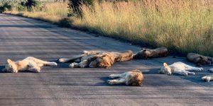 Debido a la cuarentena en Sudáfrica, los leones ahora toman siestas en lugares inesperados