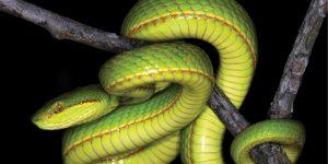 Científicos descubren una nueva especie de serpiente y la nombran como un personaje de Harry Potter