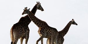 Ahora puedes disfrutar la majestuosidad de la fauna africana a través de safaris virtuales