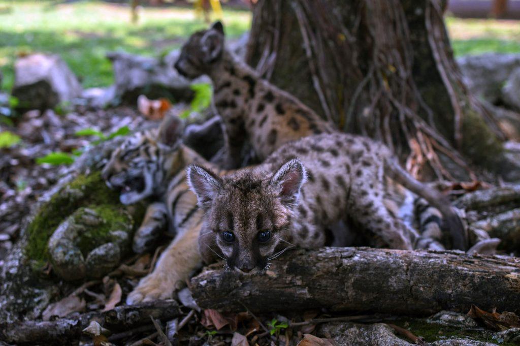 dos pumas y un tigre de bengala con nombres relacionados al coronavirus