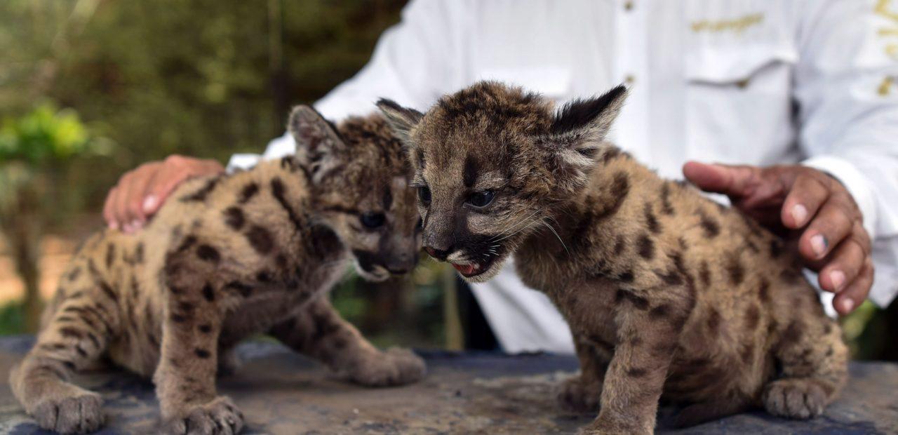 Pandemia y cuarentena pumas Veracruz zoológico
