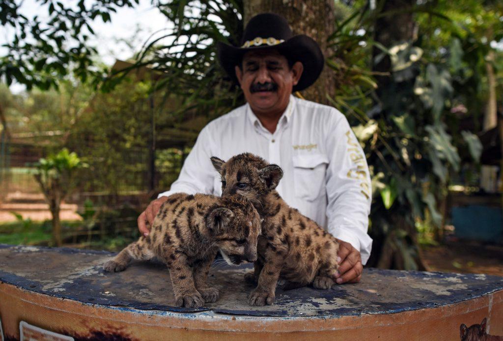 Africa Bio-Zoo nacen dos pumas