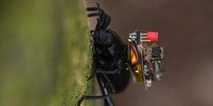 Científicos logran poner pequeñas cámaras inalámbricas estilo GoPro en escarabajos, y esto prepara el camino para robots miniatura