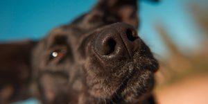 Los perros pueden detectar el coronavirus con un 94% de precisión, según un estudio alemán