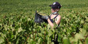 La champaña es otra víctima del coronavirus; mucha de la cosecha de uva irá a la basura por la pandemia