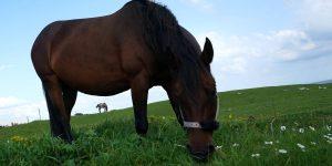 En Francia, decenas de caballos están siendo mutilados y asesinados. Las teorías policiales incluyen un ritual satánico o un macabro desafío en Internet.