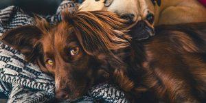 3 descubrimientos recientes cambiaron la comprensión de los científicos sobre cómo los perros envejecen, se orientan y perciben el habla humana