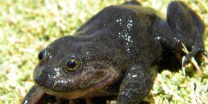 Investigadores detectan en Chile a la rana Hall, especie desaparecida desde hace 80 años
