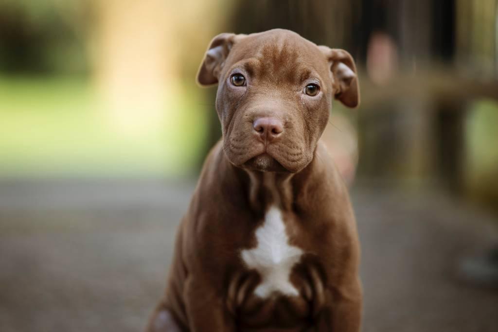 pitbull cachorro | Business Insider méxico