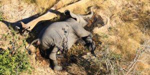 Científicos descubren por qué cientos de elefantes cayeron muertos en Botswana este año: su agua fue envenenada por algas
