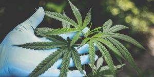 México está en la cima de la «fiebre verde»; empresarios desean arrancar con la industria legal de la marihuana lo más pronto posible