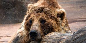 Conoce al oso pardo más gordo de Alaska