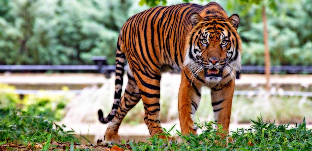 tigre india | Business Insider Mexico