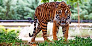 Un tigre mata a su octava víctima en un bosque de la India —y sigue evadiendo a los cazadores que lo buscan
