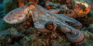 Los pulpos pueden saborear con sus tentáculos: así es como distinguen la comida de las presas tóxicas