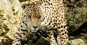El crimen organizado en América Latina contrabandea partes de jaguar a China través de sobornos y rutas clandestinas