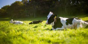 Una vaca se escapó de casa y terminó atascada en el trampolín de un vecino, y sí, hay fotos