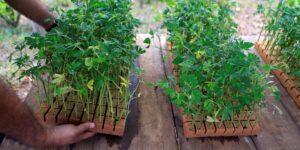 África oriental podría convertirse en un importante centro de exportación de marihuana medicinal