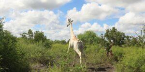 La única jirafa blanca del mundo ahora tiene un GPS para disuadir a cazadores furtivos