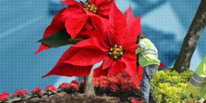 Las 192,000 nochebuenas que adornan Paseo de la Reforma llegaron y así inauguran la temporada decembrina