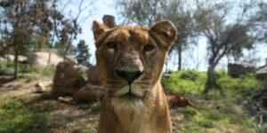 Un grupo de leones en el zoológico de Barcelona contrajo Covid-19