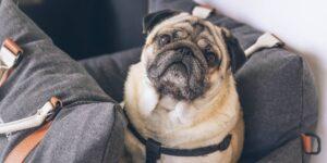 Cómo entrenar a tu perro para que use su transportadora, según un adiestrador profesional