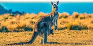 ¡Sáquese, Skippy! Los canguros pueden aprender a comunicarse con los humanos al igual que un perro domesticado