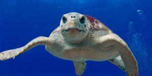 Grupos ambientalistas alegan fracaso del gobierno mexicano en la protección de tortugas marinas —se apoyan del TMEC para la protección de esta especie