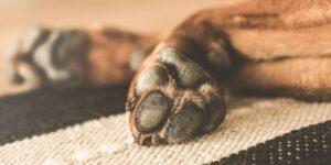 5 curiosidades que no conocías sobre las almohadillas de tus perros — y lo que debes hacer para cuidarlas mejor