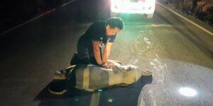 Así fue el increíble momento en que un rescatista revive con RCP a un elefante bebé atropellado por una motocicleta en Tailandia