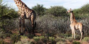 Se descubre enanismo en las jirafas. Un trastorno del crecimiento óseo puede hacerlas tener la mitad de la altura promedio de 4.8 metros